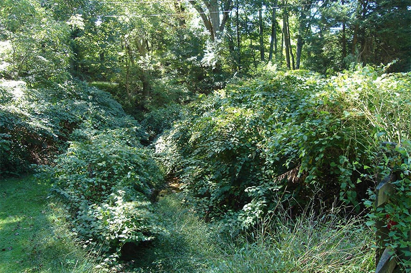 Overgrown and degraded stream channel before invasives removal and channel grading