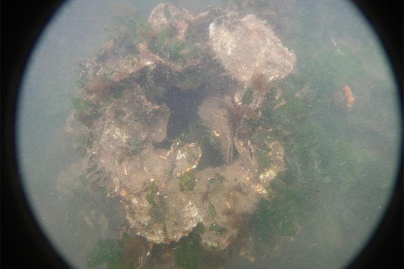 NYC Pilot Project Oysters Healthy reefball oysters 2 years after install